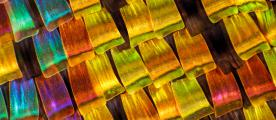 Chrysiridia rhipheus; (Madagascan sunset moth); Wing scales, iridescent structural colour, 2006